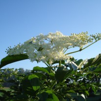 Holunderblüte - 1